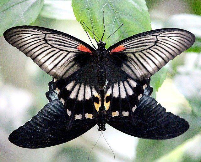 Foto de dos mariposas. Una negra y otra negra con rayas color beige, con dos triángulos amarillos al final de la cola y dos puntos rojos al lado de la cabeza. Está la de colores encima de la negra. Están teniendo sexo en la posición del 69.